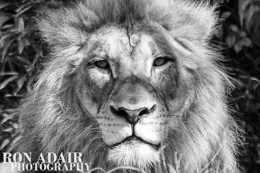 John the Lion from the Cincinnati Zoo